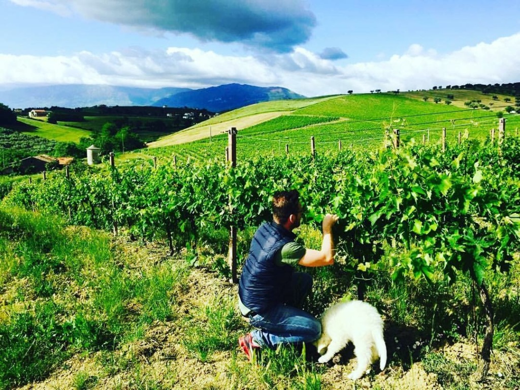 Falco helping out in the vineyard