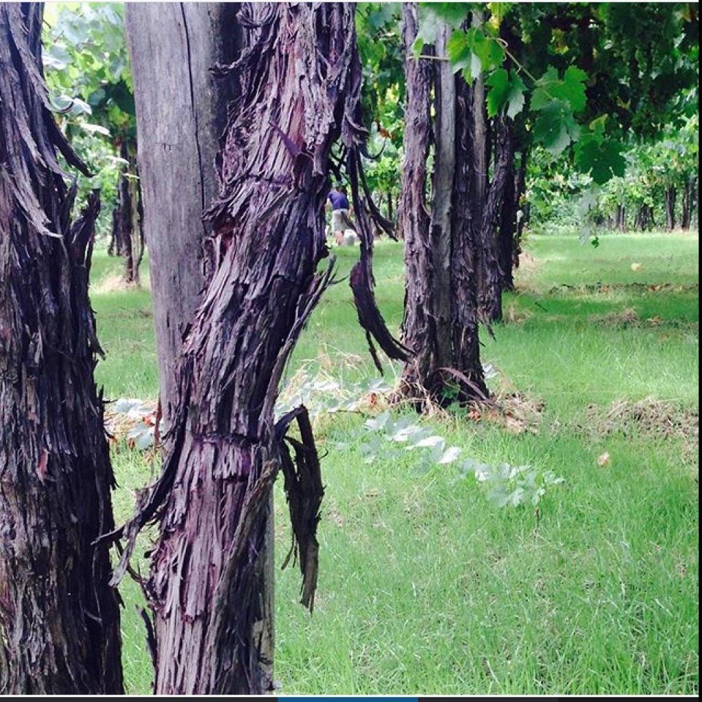 Trebbiano Abruzzese Fonte Canale oldest vines