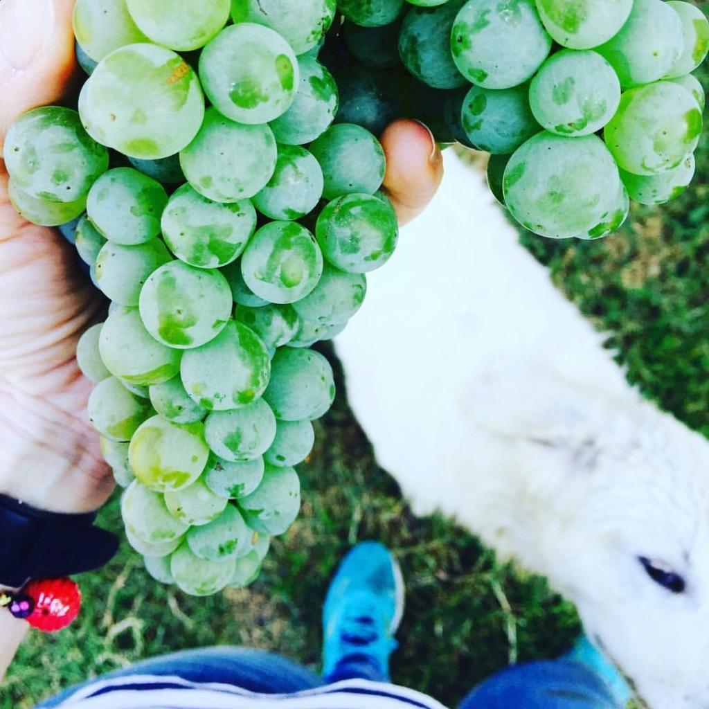 Pecorino grape