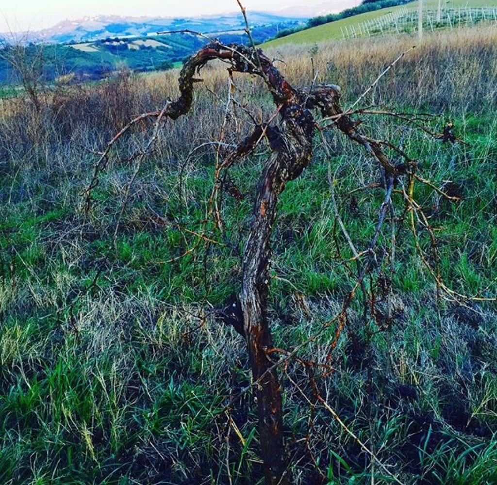 One of the oldest Montepulciano vines used for massal selections
