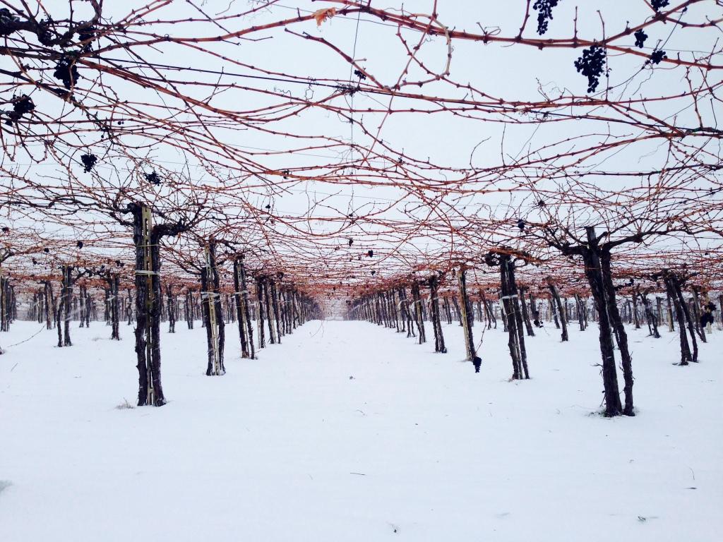 vigna Montepulciano neve